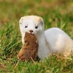 Hermelin und Mauswiesel als Schädlingsbekämpfer