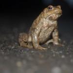 Kröten unterwegs –  Straßensperren in Gütersloh zum Amphibienschutz