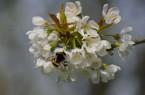02 WB Dunkle Erdhummel (Bombus terrestris) und Kirschblüte 2014-027