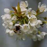 Bund Lippe informiert über Wildbienen