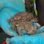 Helfer für Amphibienrettung gesucht