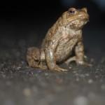 Straßensperren in Gütersloh zum Amphibienschutz