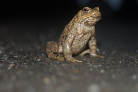 AmphibienschutzErdkröte_D-Henkenjohann