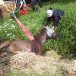 Pferd aus Bachlauf gerettet