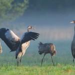 Gastspiel der Kraniche im Nationalpark Vorpommersche Boddenlandschaft