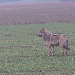 Land bestätigt ersten Wolfs-Nachweis in NRW im Jahr 2017