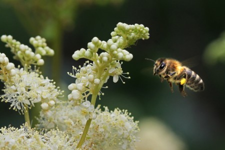 Die Bienen stehen bei zwei Mitmachprogrammen im LWL-Freilichtmuseum Detmold im Mittelpunkt. Foto: LWL/Jähne