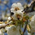 Honig- und Wildbienen in Gefahr