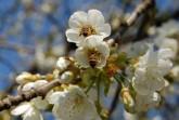 Kirschbluete-und-Bienen