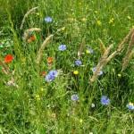 BienenBlütenReich schafft Lebensräume für Insekten