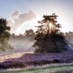 Heideblüte 2017: Eine lila Leidenschaft steckt an