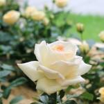 Zahlreiche Rosensorten im Arminiuspark