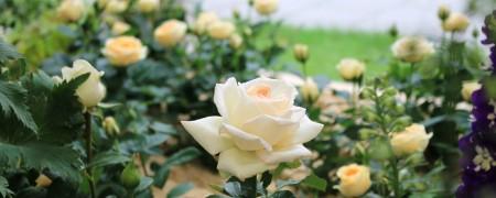 Prachtvolle Rosen laden zum Besuch der Landesgartenschau ein. Foto:LaGa Bad Lippspringe.