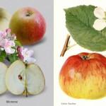 Studie: Alte Apfelsorten lindern Allergie