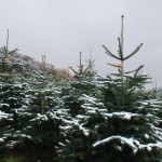 Preise stabil, Trend zum regionalen Baum