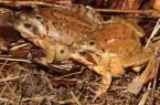 """Häufig im """"Doppelpack"""" unterwegs: Grasfroschpärchen auf der Wanderung zum Laichgewässer. Foto: © Pressefoto: Deutsche Gesellschaft für Herpetologie und Terrarienkunde (DGHT)"""