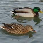 Naturbeobachter für Wasservogelzählung in Gütersloh gesucht