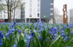 Ein voller Erfolg: die Blausterne sind ein echter Hingucker auf dem Büskerplatz. © Stadt Gütersloh