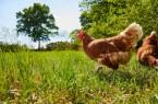 Glückliche Hühner auf dem Kiebitzhof.