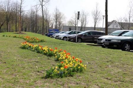 Tulpen, Narzissen, Blausterne und Traubenhyazinthen blühen zurzeit an der Kreuzung Hauptstraße/Auf der Schanze. Im Hintergrund sind die neu eingerichteten Frauenparkplätze zu sehen. © Stadt Rheda-Wiedenbrück
