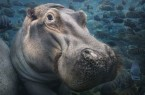 In seinem Vortrag geht er auf den Zusammenhang zwischen Naturschutz und dem Bewahren der bedrohten Tiere ein. Er zeigt seine Tierporträts, sowie Detail- und Landschaftsaufnahmen der entsprechenden Ökosysteme. Flusspferd Fotograf: Tim Flach