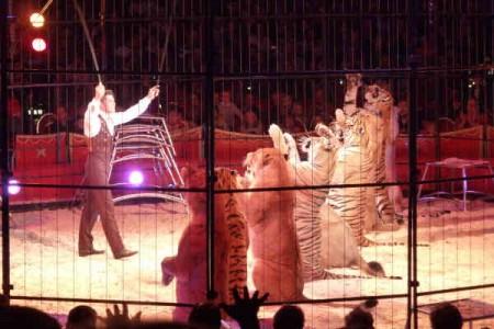 Bei Dompteur Alexander Lacey müssen Raubkatzen unnatürliche Zirkusnummern aufführen. / © PETA Deutschland e.V.