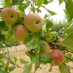 Führung durch das Obst-Arboretum Olderdissen