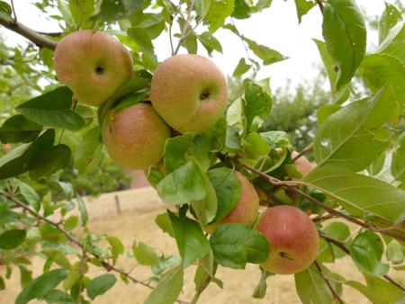 Jede Apfelsorte ist ein Unikat und hat einen ganz eigenen Charakter. Bei einer Führung kann man die unterschiedlichsten Apfelsorten mit ihren Aromen und Geschmacksrichtungen kennen lernen.