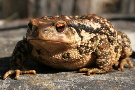 Goldene Augen und warzige Haut: ein paarungsbereites Erdkröten-Weibchen auf dem Weg zu seinem Laichgewässer. Foto: Andreas Schäfferling
