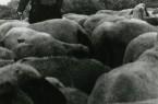 Bei ihren Prognosen stützten sich die Schäfer auf Wind, Wolken, Luftveränderungen und das Verhalten der Schafe, Münster-Nienberge 1953. Foto: LWL Volkskundearchiv Risse