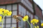 Die Bienen stehen bei einem Rundgang und Mitmachprogramm am Samstag im LWL-Freilichtmuseum Detmold im Mittelpunkt. Foto: LWL/Jähne
