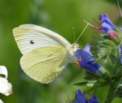 Blühmischung für Schmetterlinge und Wildbienen