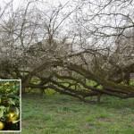 Geheimnis zu uraltem Baum in der Streuobstwiese des BUND Lemgo gelüftet