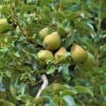 Öffentliche Obstbäume in Herford