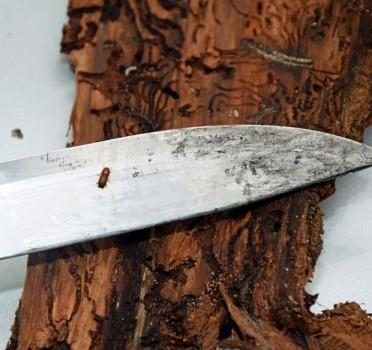 Kleiner Schädling, große Wirkung: Der Borkenkäfer – hier auf dem Messer zu sehen - breitet sich massiv aus und bringt die Bäume zum Absterben. (Foto: Stadt Nieheim/privat)