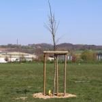 Stadt Detmold verschenkt Birnenbäume und Flatterulmen