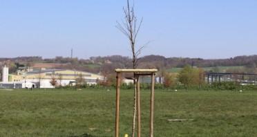 Baum des Jahres 2019: die Flatterulme, Foto: Stadt Detmold