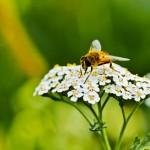 2.500 Quadratmeter Blühstreifen für Insekten