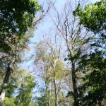 Massive Baumschäden im Glacis und im Botanischen Garten