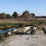 19 Schafe zur Landschaftspflege im Einsatz