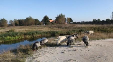 Die Schafe auf der nord-westlichen Seite werden durch den neuen Glenneverlauf von einer anderen Deckgruppe getrennt. Foto: Kreis Gütersloh