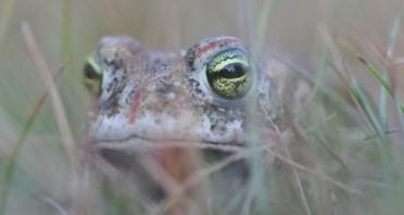 Die seltene Kreuzkröte soll größeren Lebensraum erhalten, um ihr langfristiges Überleben zu sichern Fotograf: Guido Sachse