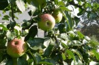 Kurs Obstbaumschnitt Kloster Dalheim