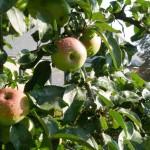 Kurs zum richtigen Obstbaumschnitt im Kloster Dalheim