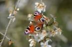 Blüte Kirschpflaume mit Tagpfauenauge, Foto: BUND Lemgo