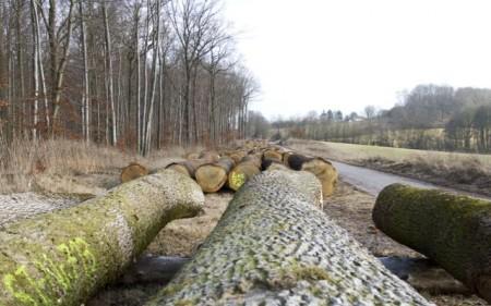 Wertholzstämme der Forstabteilung des Landesverbandes Lippe auf dem Holzlagerplatz am Entenkrug (Horn-Bad Meinberg/Belle).