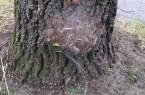 Eichenprozessionsspinner-Nest-an-Eichenrinde-1958e950bc8d74dgc36d9da5575b4386