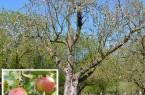 Extertaler Apfelbaum in der Streuobstwiese des BUND Lemgo Foto: BUND Lemgo