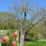 Apfelsorte Extertaler wesentlich älter als bisher bekannt