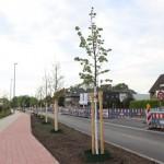 Die ersten 26 neuen Straßenbäume stehen